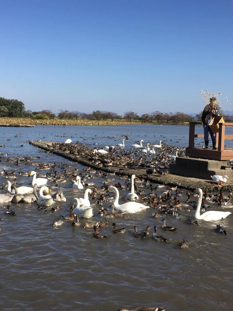 瓢湖へ白鳥を見に行った(〜時々ポケモン〜)